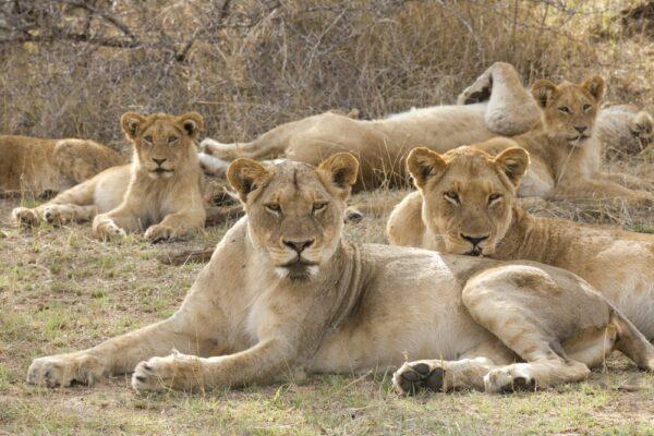 Safari i Pilanesberg, Gauteng
