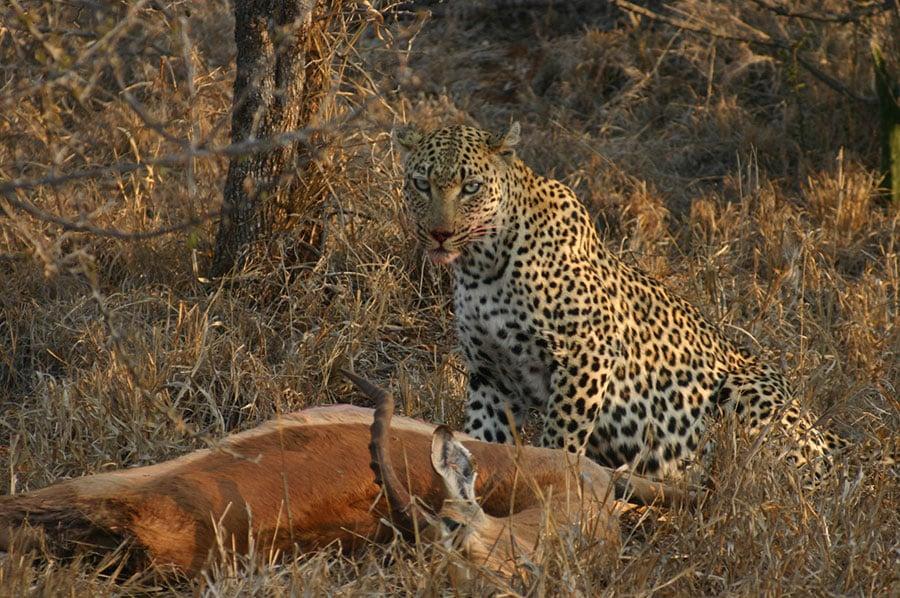 Restips på egen hand i Sydafrik - Kruger nationalpark