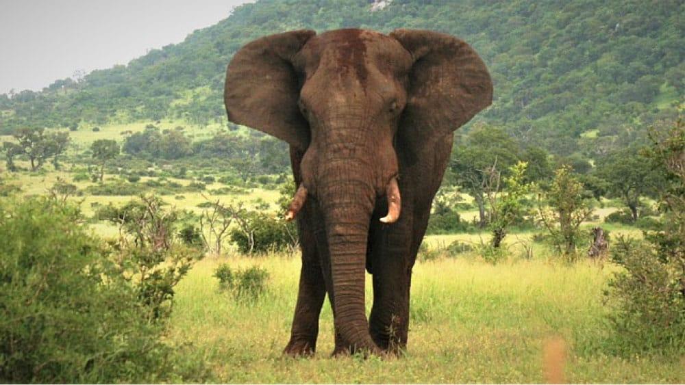 Elefant Sydafrika